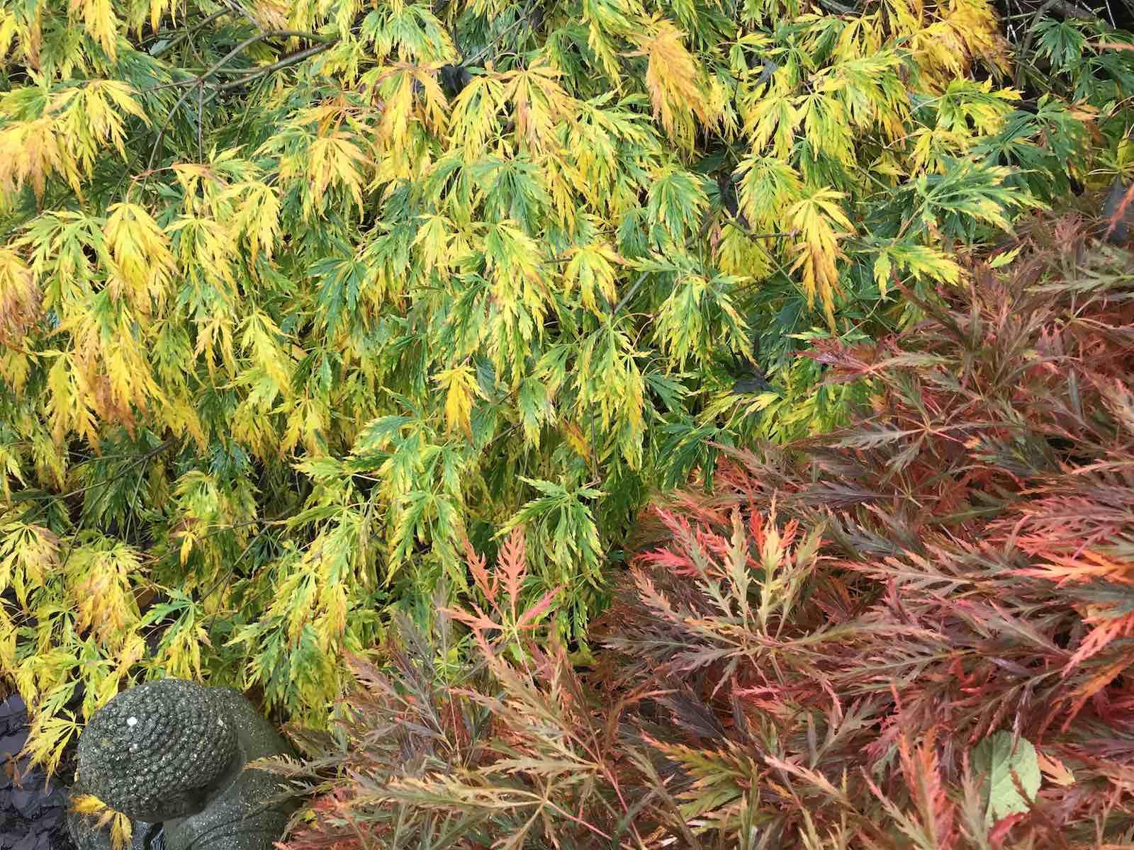 Acers autumn colours-02.jpg