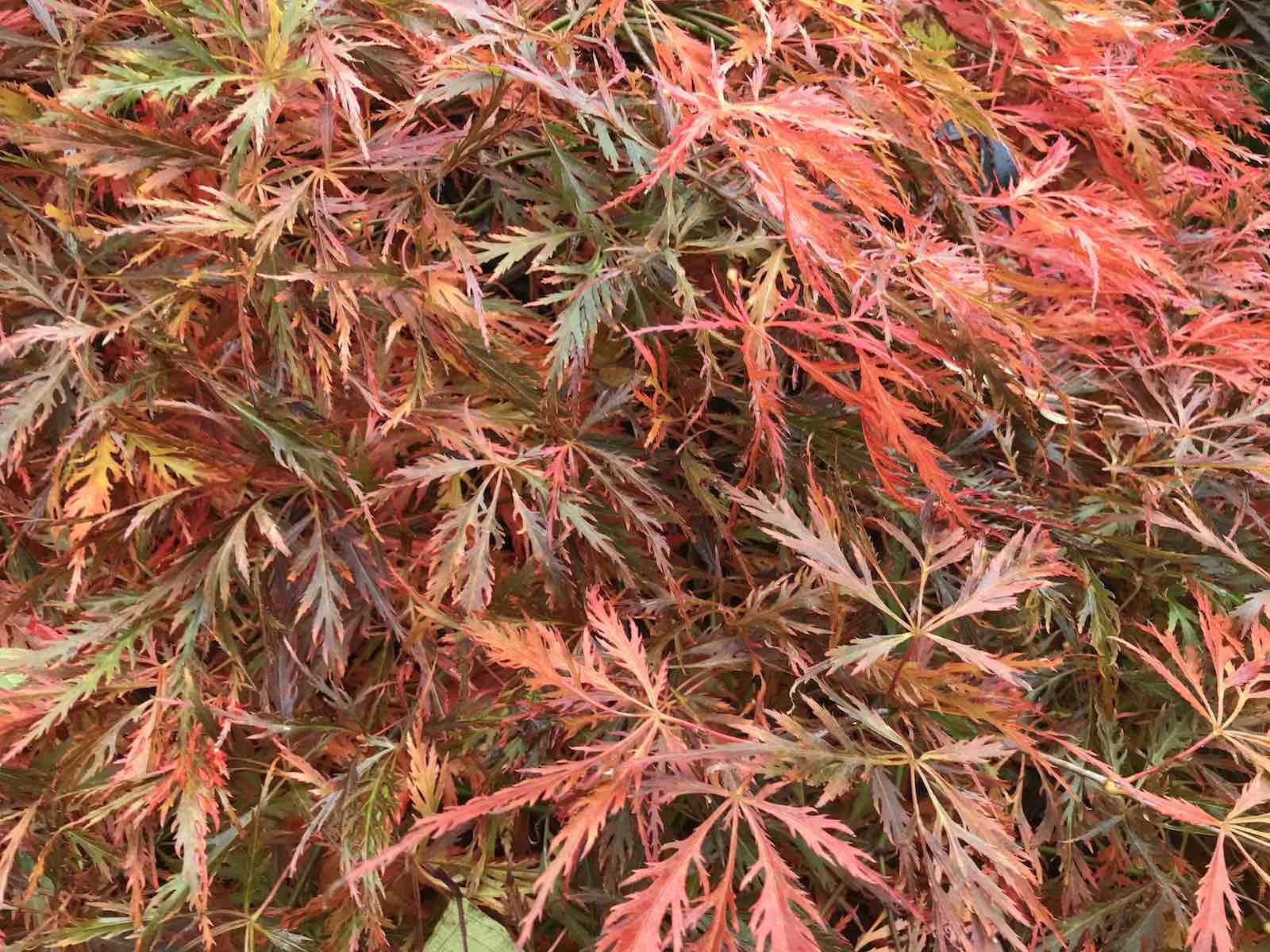 Acers autumn colours-03.jpg