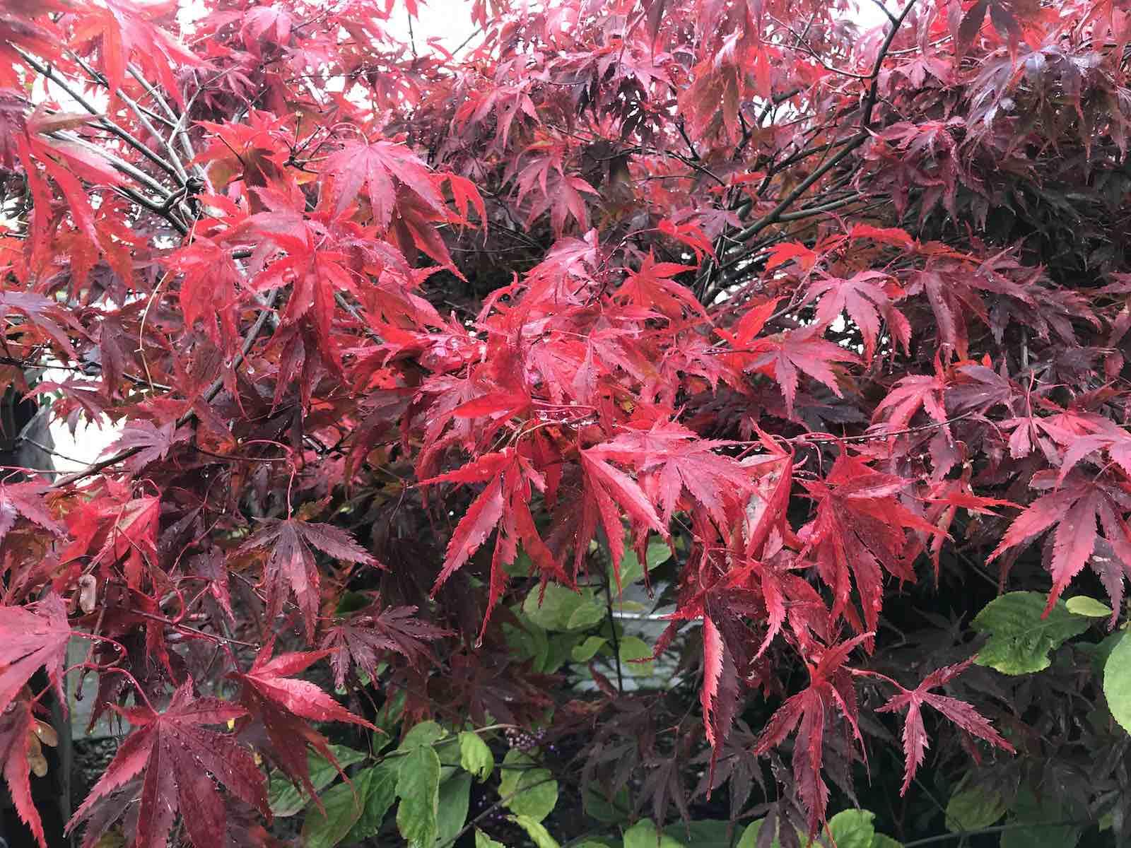 Acers autumn colours-04.jpg