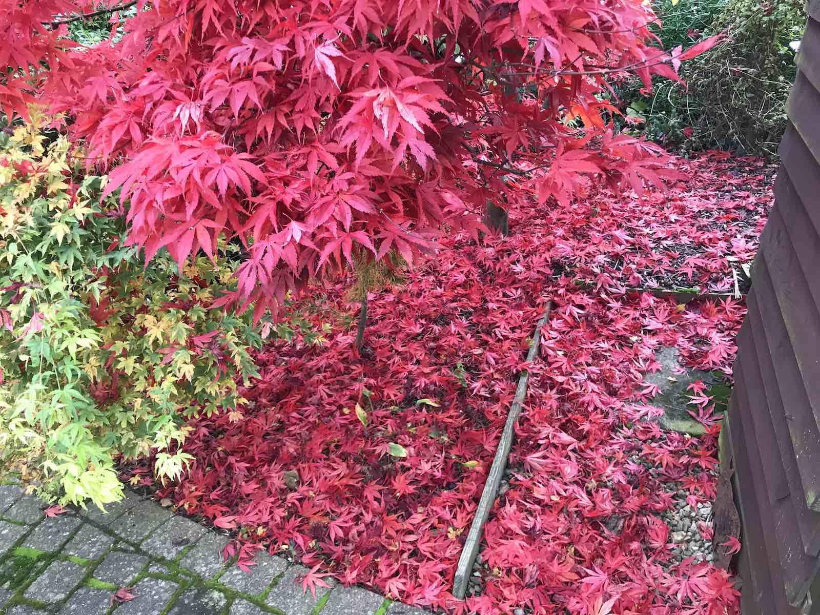 Acers autumn colours-07.jpg