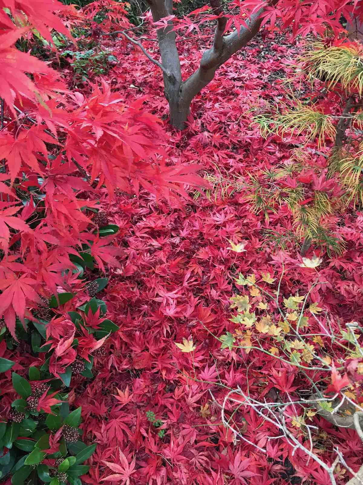 Acers autumn colours-08.jpg