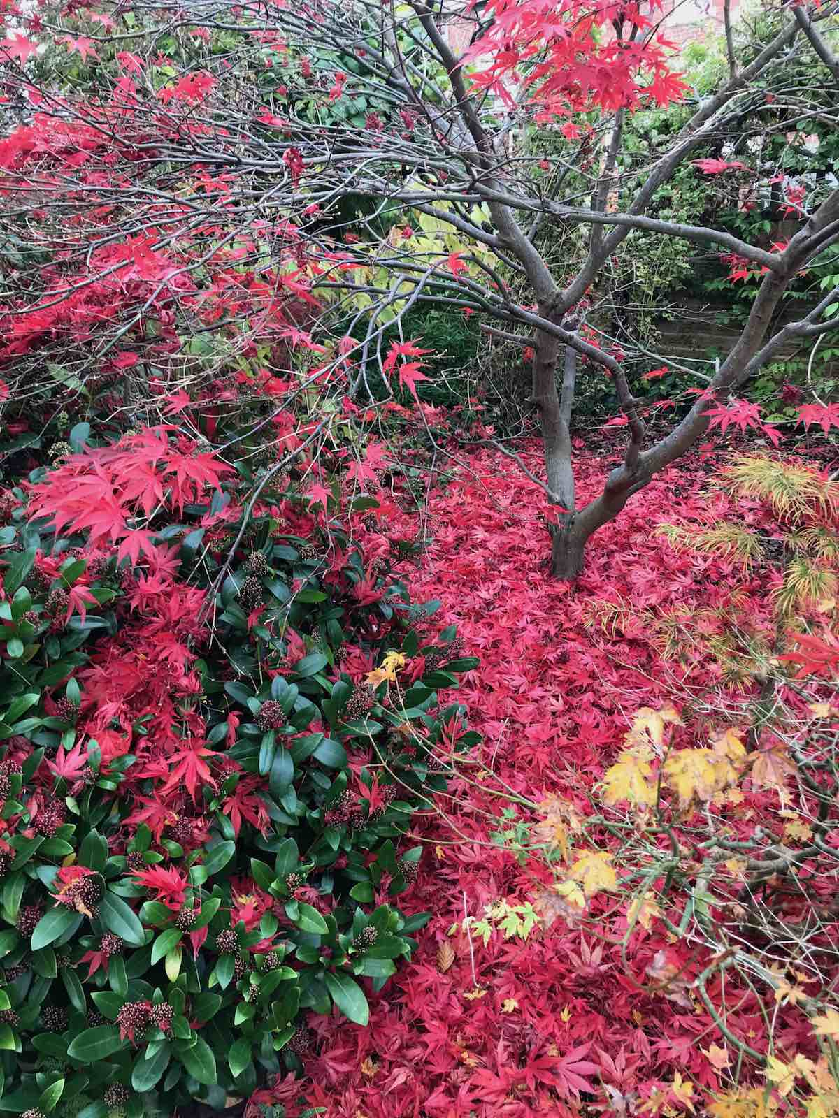 Acers autumn colours-09.jpg