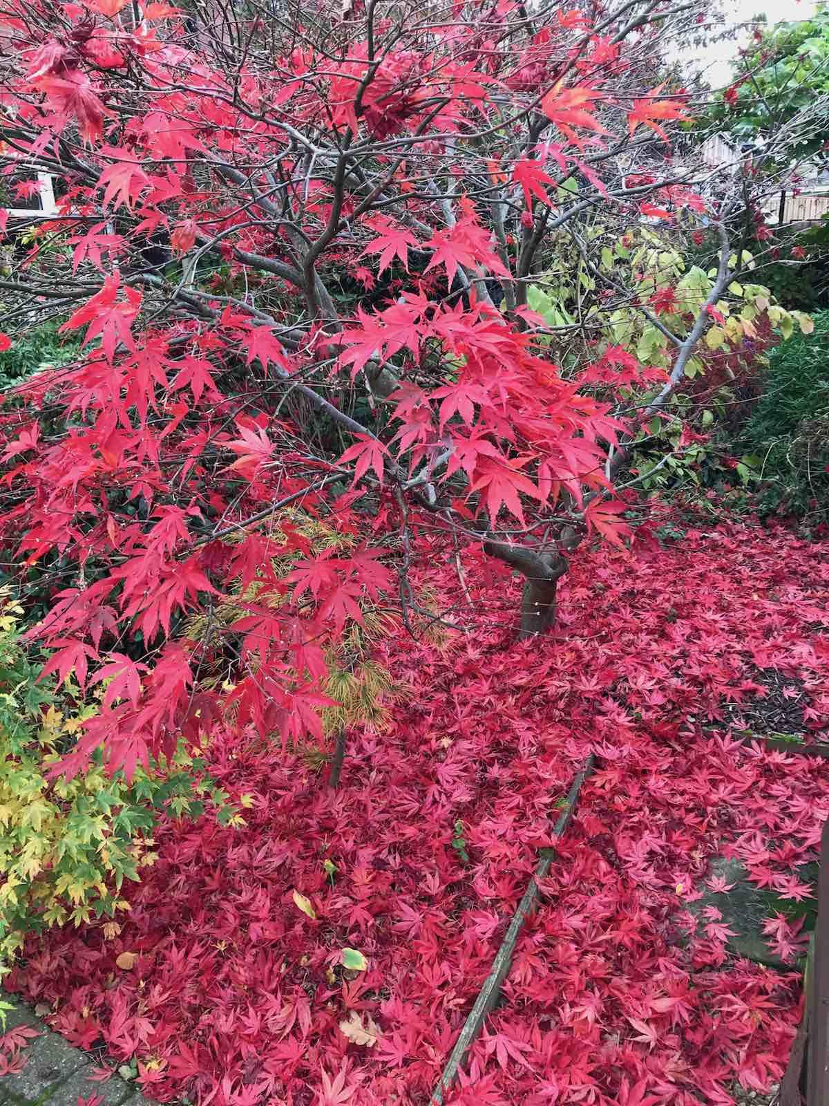 Acers autumn colours-10.jpg