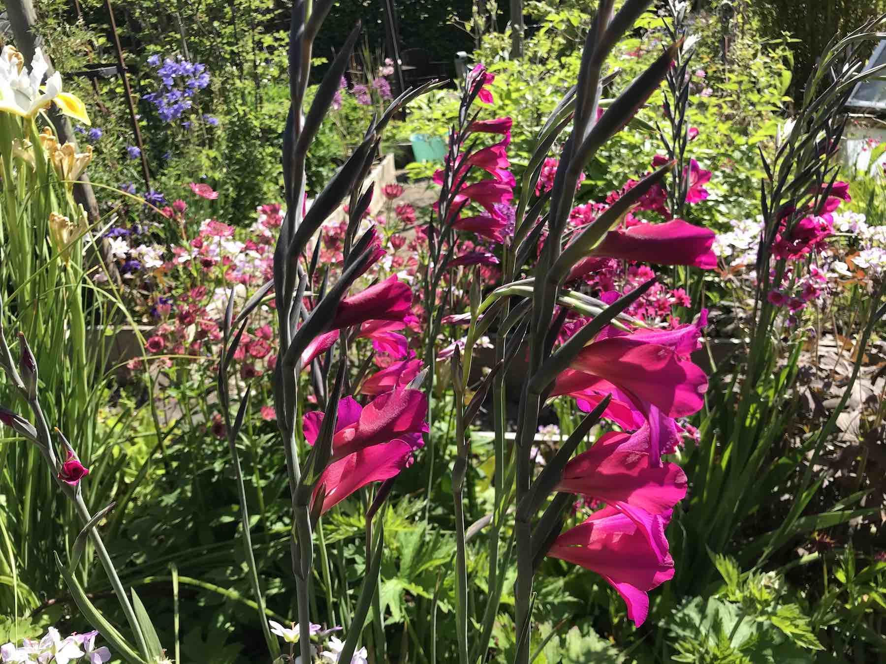 gladiolus byzantinus-02.jpg