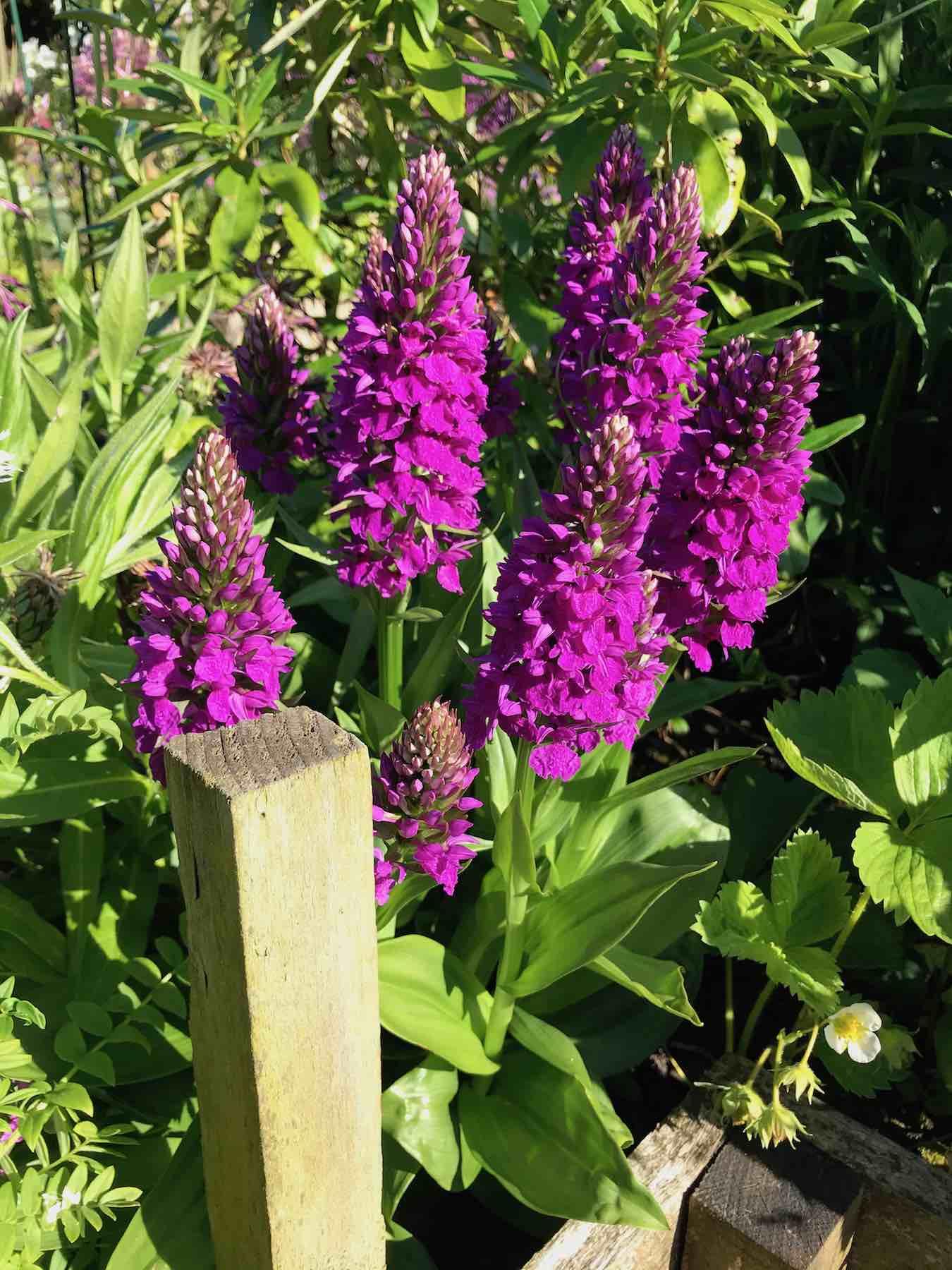 Northern Marsh Orchid-01.jpg