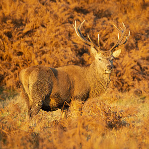 Stag at sunset